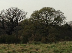 One of the magnificent oaks that provide the backdrop to Music in WansteadPark was in leaf on Friday, April 11th.
