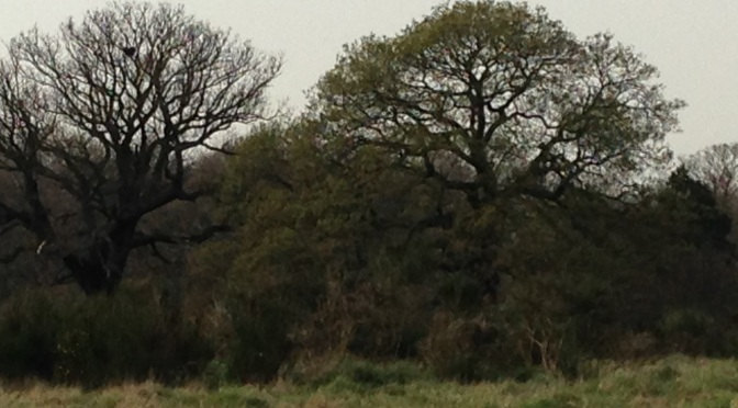 Veteran trees that make Wanstead Park