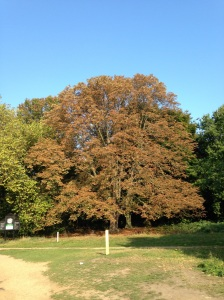The last week of the month saw the leaves turning in earnest. The horse chestnuts, such as this one in Wanstead Park however, turned much earlier because of the leaf miner pest