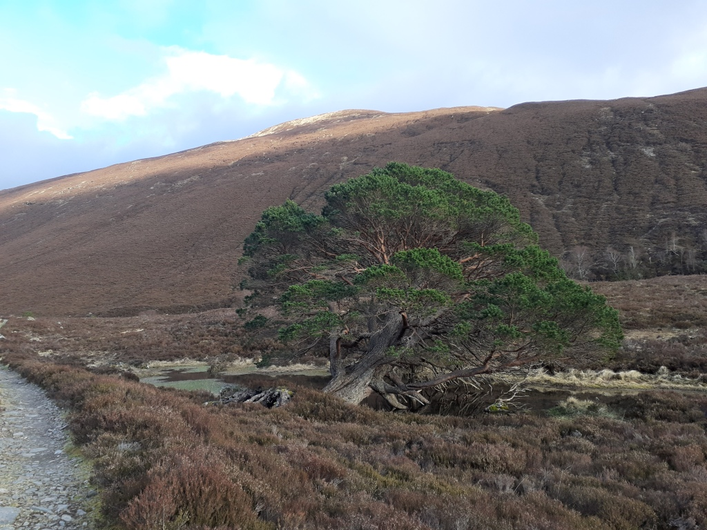 A huge tree, possibly felled in a storm